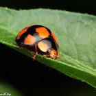 Variable Lady Beetle
