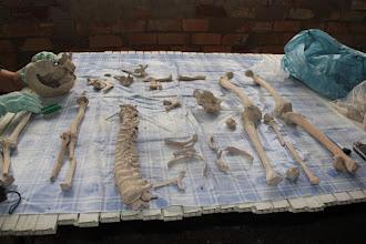 Photo: La paciente labor de Miriam para reconstruir los esqueletos.