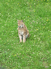 Photo: Luchs in Blumenwiese