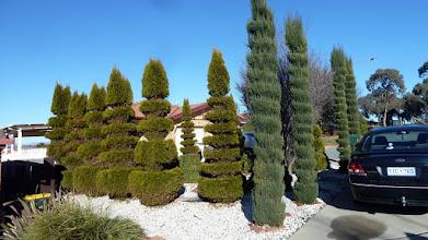 Photo: Manicured pine trees Bunduluk Cres