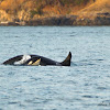 Southern Resident Orca w/ Baby