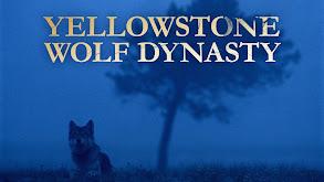 Yellowstone Wolf Dynasty thumbnail
