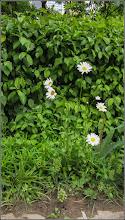 Photo: Margaretă ( Leucanthemum vulgare) - din Turda,  pe Calea Victoriei, Nr. !9, spatiu verde - 2019.05.21
