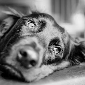 Dreamer by Jens Klappenecker-Dircks - Animals - Dogs Portraits ( dreaming, labrador retriever, grosser muensterlaender, dog portrait, portrait )