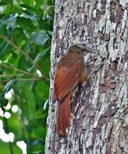 Photo: Nördlicher Bindenbaumsteiger (Dendrocolaptes sanctitomae, Northern Barred Woodcreeper)