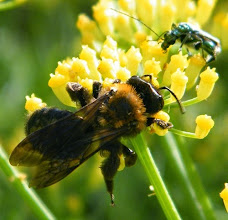 Photo: Andrena thoracica sur aneth (ombellifère)