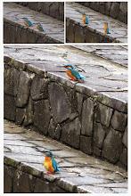 Photo: 撮影者:佐藤サヨ子 カワセミ タイトル:春の訪れ 観察年月日:2015年月20日 羽数:2羽 場所:程久保川中程久保橋 区分:行動 メッシュ:武蔵府中 コメント:かわせみが2羽並んで川への入り口水を見ていた。オスと♀と思ったのですが、♀だと思って見たカワセミの嘴は写真で見ると黒く見えたのはどうしてなのかわかりません。