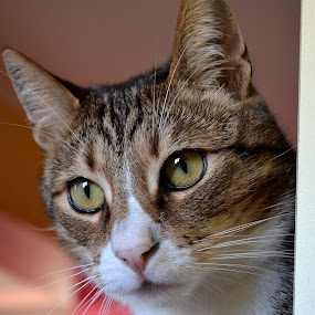 by Kristina Nutautiene - Animals - Cats Portraits ( cat, cat portrait, tabby whiskers, gray )