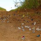 Rabble of butterflies (Panapana de Borboletas)