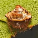 Snail-like Cyrtarachne