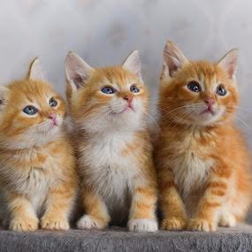 Three kittens by Eglė Eglė - Animals - Cats Kittens ( cats, cat, orange cat, kitten, three, kittens, cute, kitty,  )