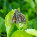 Buterflay Hesperiidae