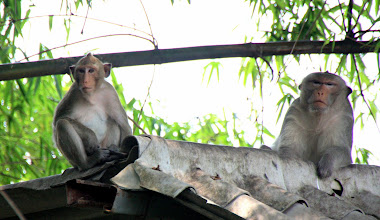 Photo: Day 327 - The Macaque Monkeys When We First Spotted Them