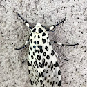 Giant leopard moth or eyed tiger moth (female)