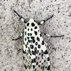 Giant leopard moth or eyed tiger moth (female)