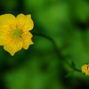 Bloom and Bud by Craig Pifer - Nature Up Close Flowers - 2011-2013 ( yellow, flower )
