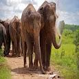 Elephant Swe