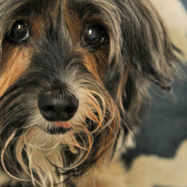 Lucy by Carolyn Taylor - Animals - Dogs Portraits