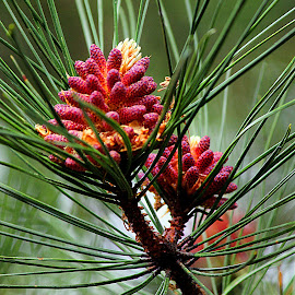 Pinecone by Scott Block - Nature Up Close Trees & Bushes ( nature, pinecone, pine cone, nature up close, branch,  )