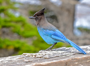 Photo: 75. The ever present and not shy Stellar's Jay.