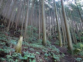 植林の登りに