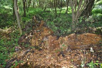 Photo: Du bois mort en décomposition, c'est aussi de l'habitat pour certaines espèces !