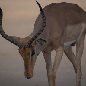 Impala by David Botha - Animals Other Mammals