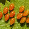 Leaf Footed Bug Eggs