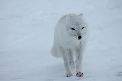 Arctic Fox Wallpaper HD Appar Pa Google Play
