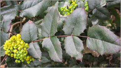 Photo: Mahonia  (Mahonia aquifolium) - din Cimitirul Crestin Central - 2017.04.13