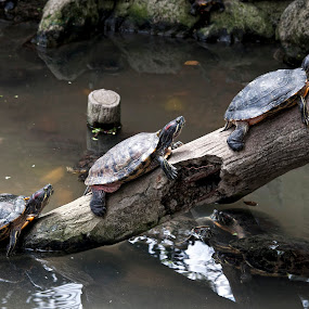 Follow the Leader by Jon Gonzales - Animals Reptiles ( turtle, row )