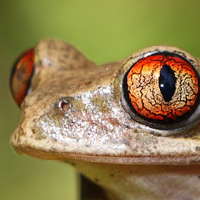 Big Red Eyes by David Knox-Whitehead - Animals Amphibians ( red, pupil, frog, slimy, veins, eyes,  )