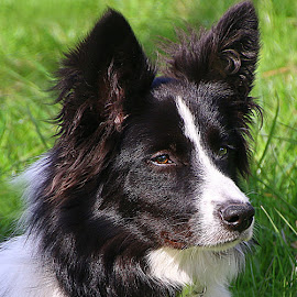 Big Ears! by Chrissie Barrow - Animals - Dogs Portraits ( border collie, long haired, pet, white, fur, ears, dog, nose, black, portrait, eyes )