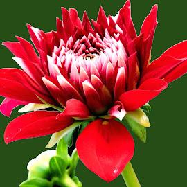 dahlia by SANGEETA MENA  - Flowers Flower Gardens (  )
