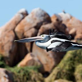 Australian Pelican by Erica Siegel - Animals Birds ( australian pelican, bird, waterbird, flying bird, seabird, pelican )