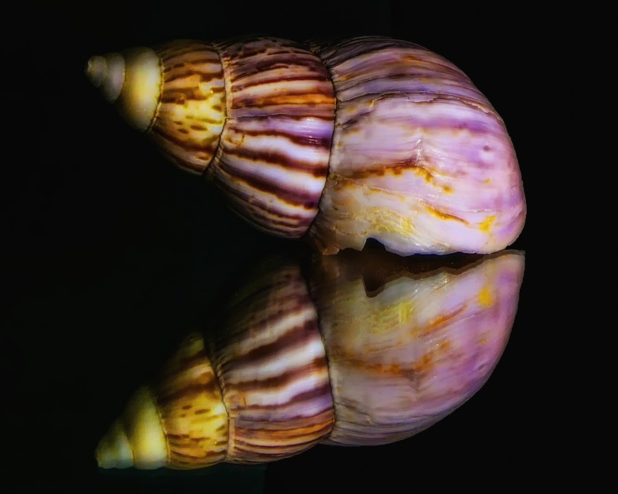 A Real Beauty by Dave Walters - Nature Up Close Other Natural Objects ( macro, sea shells, colors, nature up close, lumix fz2500,  )