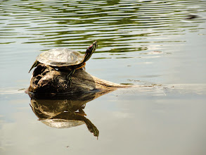 Photo: Happy turtle sunning himself at Cox Arboretum in Dayton, Ohio.