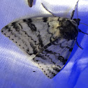 White Underwing Moth
