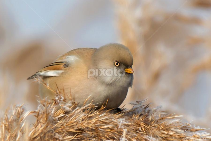 Panurus biarmicus by Miroslav Socha - Animals Birds