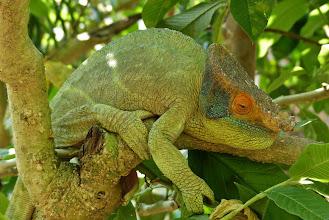 """Photo: Der """"Chamäleon-Rausch"""" beginnt! Von den ca. 150 Chamäleon-Arten weltweit, lebt allein die Hälfte nur auf Madagaskar!"""