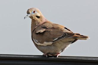 Photo: White-winged Dove