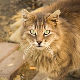 cat in the street by Turgay Koca - Uncategorized All Uncategorized ( domestic, outdoor, fur, cats, homeless, cute, eyes )