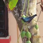 Purple Sunbird (male)