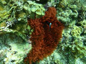 Photo: Entacmaea quadricolor (Extremely Rare Red Bubble Anemone), Amphiprion frenatus (Juvenile Tomato Clownfish),  Siquijor Island, Philippines