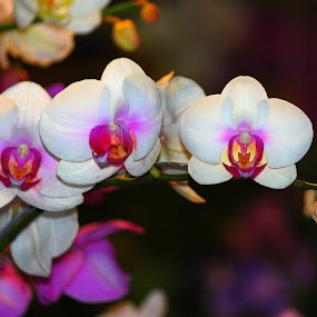 White Orchid. by Nguyen Huu Hung - Nature Up Close Flowers - 2011-2013