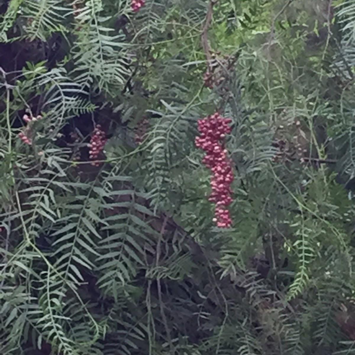 Schinus Molle Pepper Tree