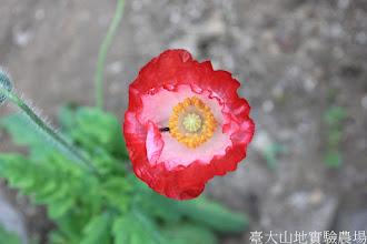 Photo: 拍攝地點: 梅峰-溫帶花卉區 拍攝植物: 虞美人 拍攝日期: 2015_05_29_FY