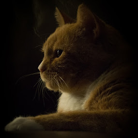 Joe Bob Pancake by VAM Photography - Animals - Cats Portraits ( cat, nature, portrait, animal,  )