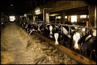 Photo: Kühe in der industriellen Landwirtschaft und Tierproduktion
