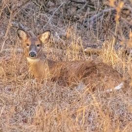 Deer in a Manger by Diane Ebert - Animals Other Mammals ( #ilovephotography, #candidsaremypassion, #deerinamanger, #deer,  )